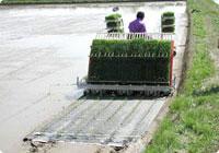 紙マルチ栽培