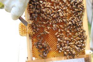 橋元養蜂~蜜蜂が増え過ぎると、、、~